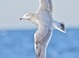 Herring Gull (second-cycle), Nov. 19, 2011, DE Pelagic Waters