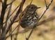 Hermit Thrush, Salishan Nature Trail, 12-15-2011