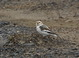 Snow Bunting at Portland International Airport Fire Station 18 December 2011.