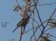 Brown Headed Cowbird?, Wetlands Park, Las Vegas, 12-28-2011