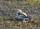 Snow Bunting at Portland International Airport Fire Station