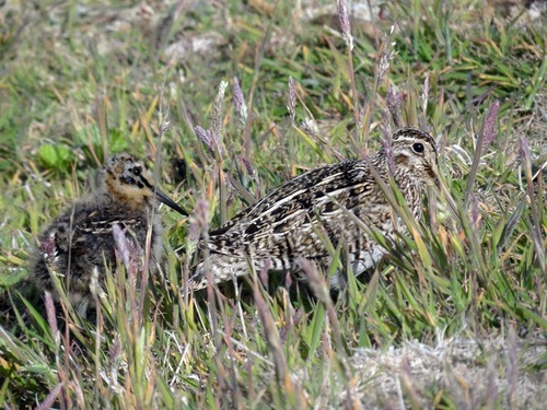 snipe-and-chick