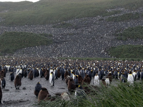 king-penguin-colony