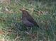 Hermit Thrush (saw 5 this trip), Salishan Nature trail, Siletz Bay, 1-12-2012