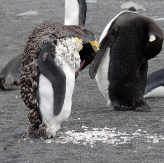 molting-penguins