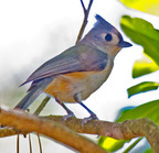 Tufted titmouse_6609