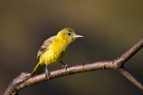 Hooded-Oriole-Female