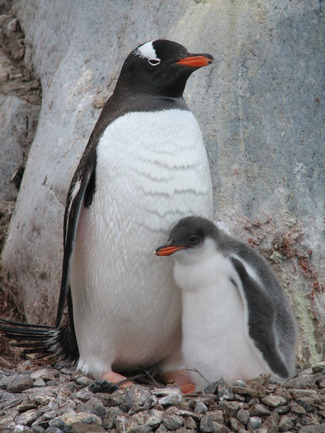 102%20Gentoo%20with%20Chick