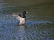 Ring-necked Duck : Brown's Ferry Park, Tualatin