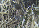Harris's Sparrow with Golden-Crowned Sparrow, seen along Rentenaar Rd. on Sauvie Island, 2/29/12