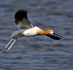 _am-avocet-male-on-wing