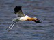Breeding Male American Avocet at San Elijo Lagoon, San Diego County April 2012
