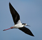 _black-necked-stilt-on-wing