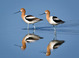 Mr & Mrs Breeding American Avocet at San Elijo Lagoon, San Diego County April 2012