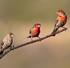 House-finches-3