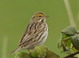 This Savannah Sparrow was along Swigert Rd. near Troutdale on 14 April 2012.