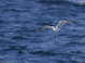 Black-legged Kittiwake (1st cycle) - 11/19/2011 in Maryland waters during See Life Paulagics trip