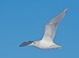 "Herring Gull (adult), Jan 15, 2012, Belmar, NJ Pelagic - ""Newfoundland"" type bird with extensive white in"
