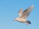 Iceland Gull (first cycle), Jan 15, 2012, Belmar, NJ Pelagic