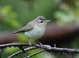 This Warbling Vireo was along Scoggins Valley Rd. southwest of Forest Grove, Washington County, Oregon on 20 May 2012.