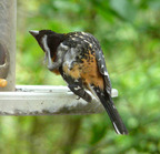 Black-headed grosbeak scratching