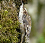 Brown creeper stretching
