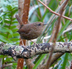 Pacific wren right