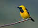 Adult Male Hooded Oriole at Rancho Santa Fe, San Diego County 13 May 2012