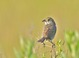 Seaside Sparrow (adult) on territory: May 26, 2012 at Cape May, NJ