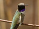 One of multiple adult male Black-chinned Hummingbirds at Malheur NWR HQ over Memorial Day Weekend 2012.
