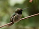 Profile shot of the male Black-chinned Hummingbird at Malheur NWR HQ on 27 May 2012.
