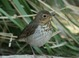 """This """"Olive-backed"""" type Swainson's Thrush was feeding on the lawn at Malheur NWR HQ on 27 May 2012."""