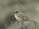 Here's another shot of a male Sage Sparrow photographed along Dry Valley Rd. near Wagontire.