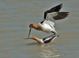 Mating American Avocets