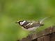 Chestnut-sided Warbler (adult male), High Point SP, Sussex County, NJ, June 9, 2012