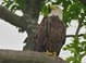 Bald Eagle, Culver's Lake, Sussex County, NJ, June 9, 2012