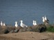 Herring Gulls and Ring-Billed Gulls