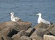 Ring-billed and Herring Gulls at Lakeside Park.