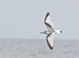 Black-legged Kittiwake (winter, first-cycle), Feb 4, 2012, NJ Pelagic Waters out of Cape May