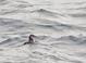 Atlantic Puffin (winter), NJ Pelagic Waters Off Cape May, 2/4/12