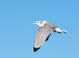 Black-legged Kittiwake (adult), Jan 15, 2012, Belmar, NJ Pelagic