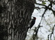 Acorn Woodpecker, May, Forest Grove Oregon