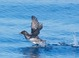 Rhinoceros Auklet (basic) taking flight, Santa Barbara Channel on Searcher Pelagic, 9/6/2011