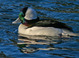 Bufflehead taken by Dan Mitchell at Crystal Spings Rhododendron Park, Portland, Oregon on 1/27/07