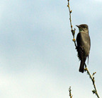 Olive-sided_flycatcher-01