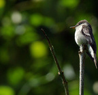 Olive-sided_flycatcher-02