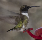 Black-chinned hummingbird (17 of 38)-edit