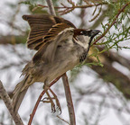 House sparrow-roper lake state park