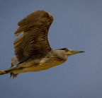 Black-crowned night heron--roper lake