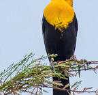 Yellow-headed blackbird--roper lake12-